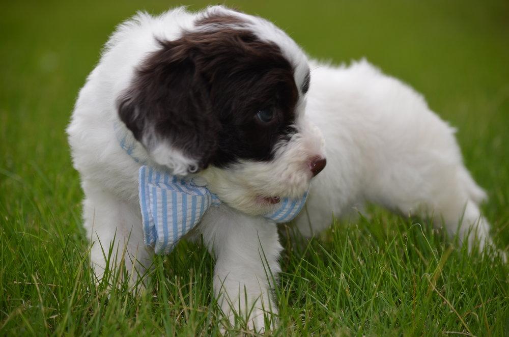 Bobby-mini-Springerdoodle-boy (7).JPG