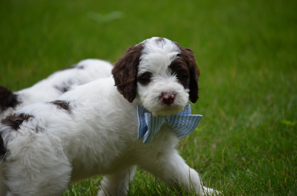 Churchill-mini-Springerdoodle-boy (1).JPG