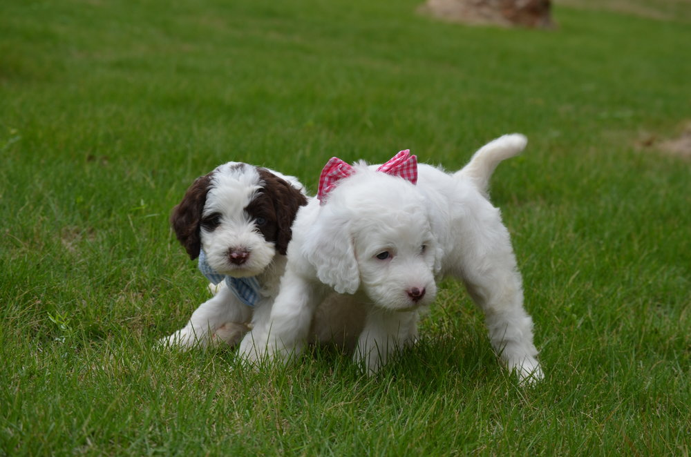 Churchill-mini-Springerdoodle-boy (2).JPG