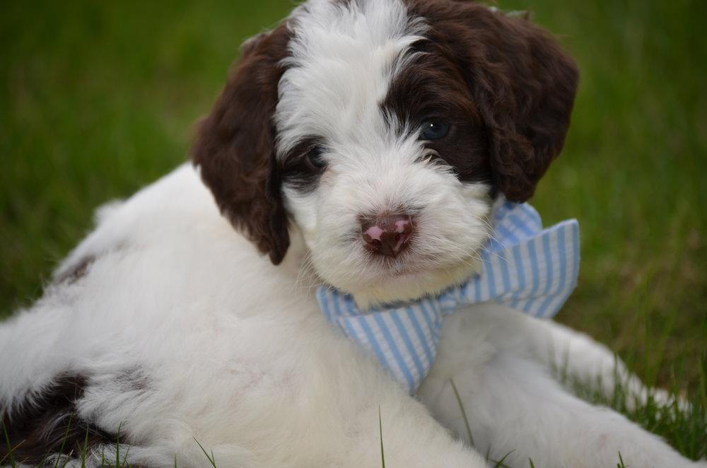 Churchill-mini-Springerdoodle-boy (5).JPG