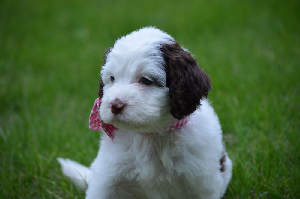 Bella-mini-Springerdoodle-girl (2).JPG