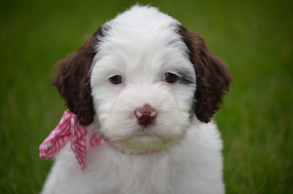 Bella-mini-Springerdoodle-girl (3).JPG