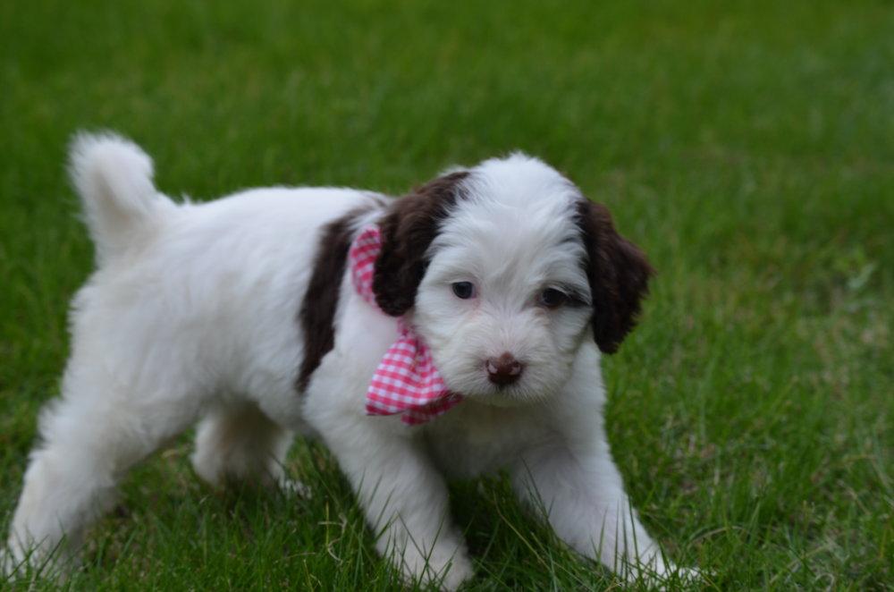 Bella-mini-Springerdoodle-girl (6).JPG