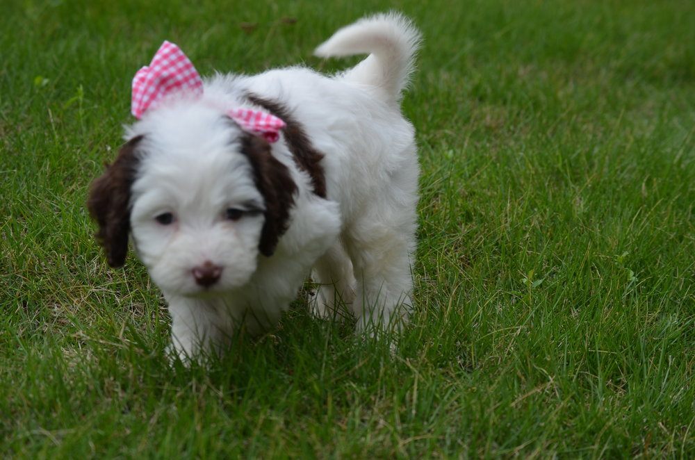 Bella-mini-Springerdoodle-girl (9).JPG