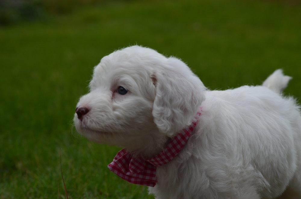 Rosie-mini-Springerdoodle-girl (1).JPG
