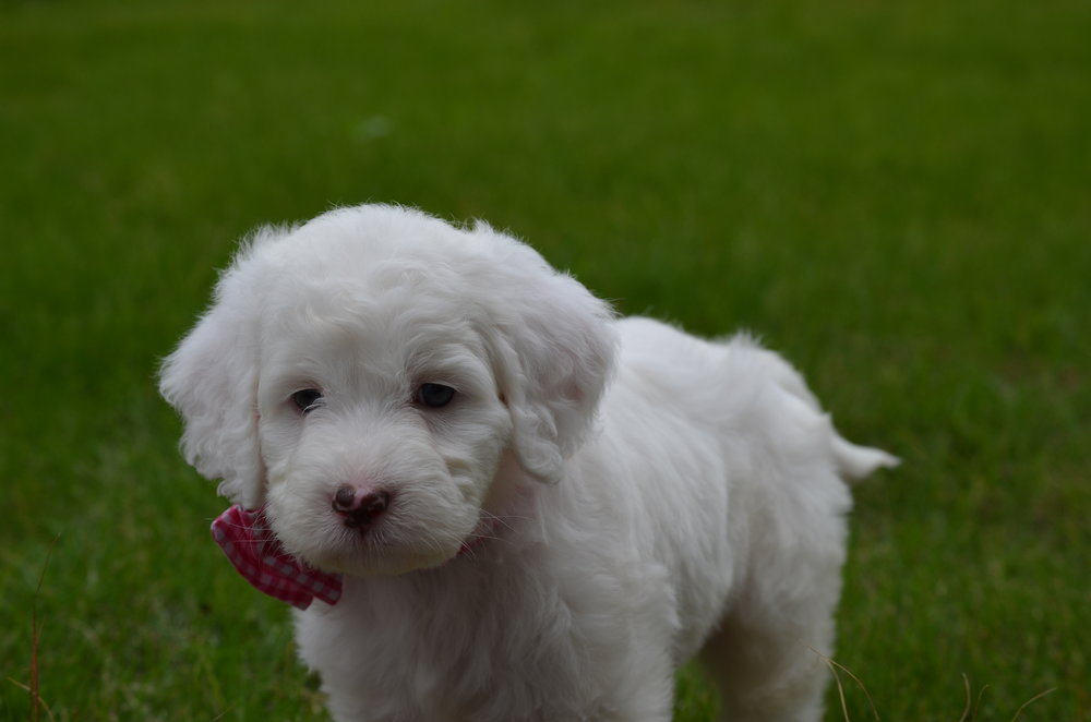 Rosie-mini-Springerdoodle-girl (6).JPG