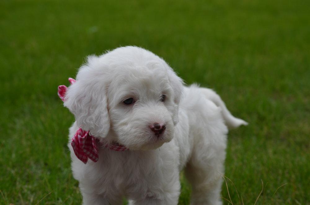 Rosie-mini-Springerdoodle-girl (7).JPG