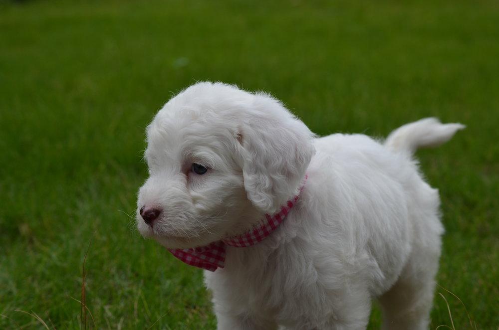 Rosie-mini-Springerdoodle-girl (8).JPG