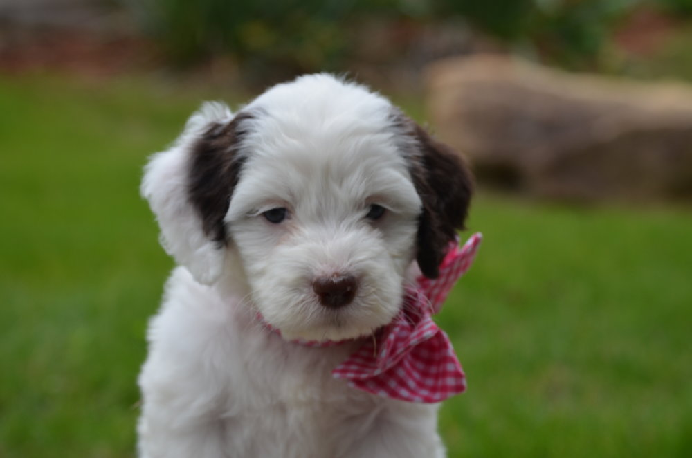 Jewel-mini-Springerdoodle-girl (9).JPG