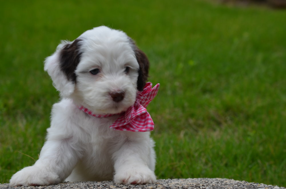 Jewel-mini-Springerdoodle-girl (12).JPG