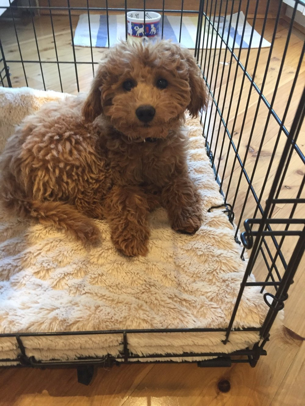 Bella-mini-Goldendoodle