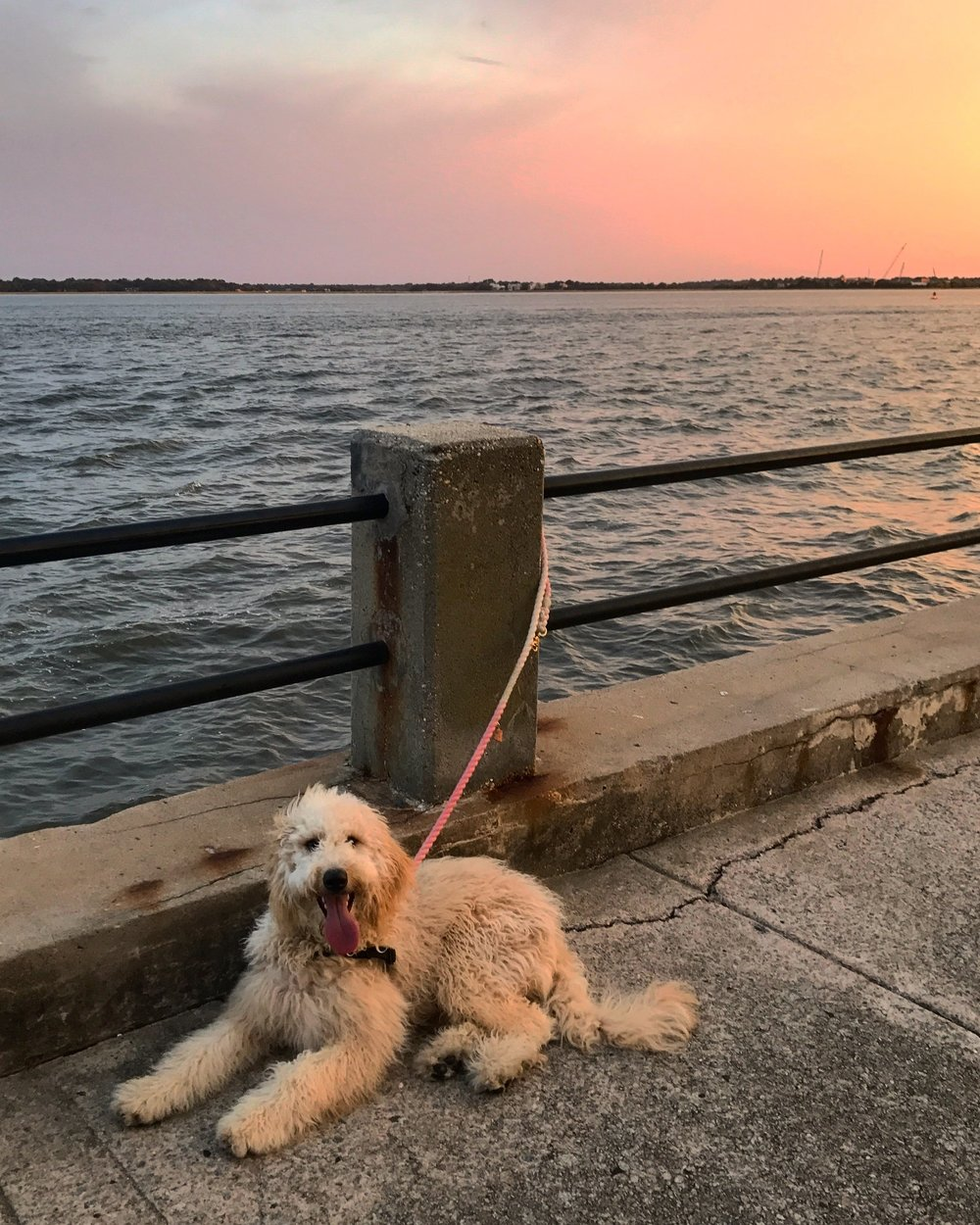 Charleston-Goldendoodle