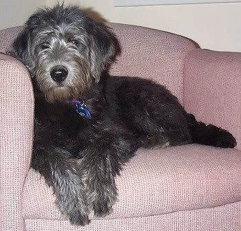 Adult blue (silver) labradoodle; the black coat from the puppy days changes to a gorgeous gun-metal gray look.