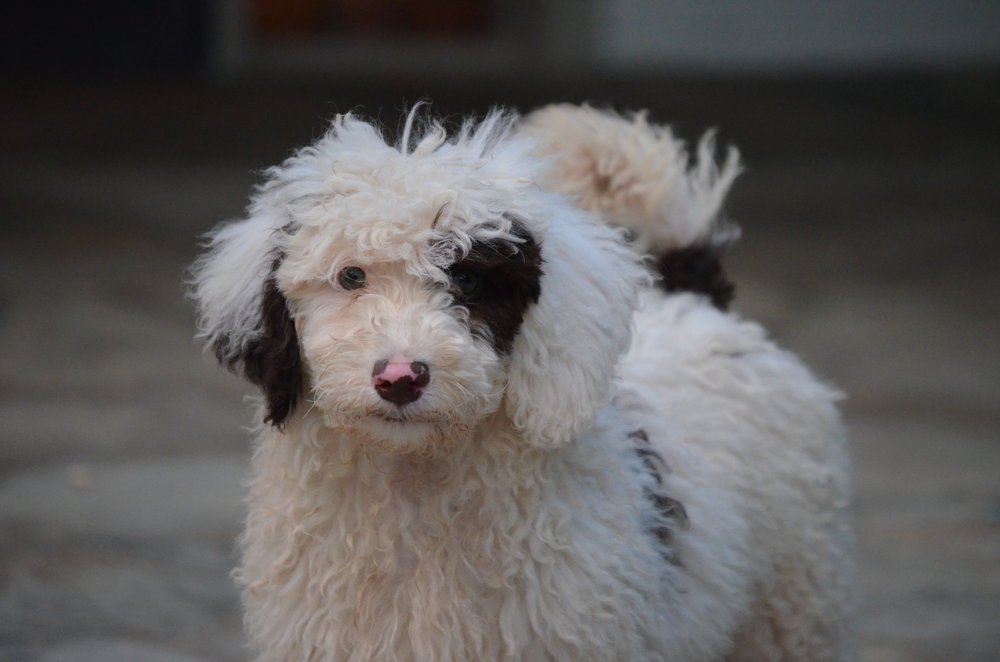 Jackson: chocolate/white parti color mini poodle dad