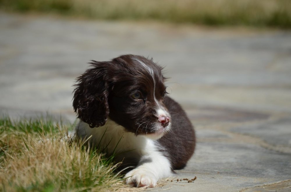 Fern, English Springer Spaniel mom: liver (chocolate)/white