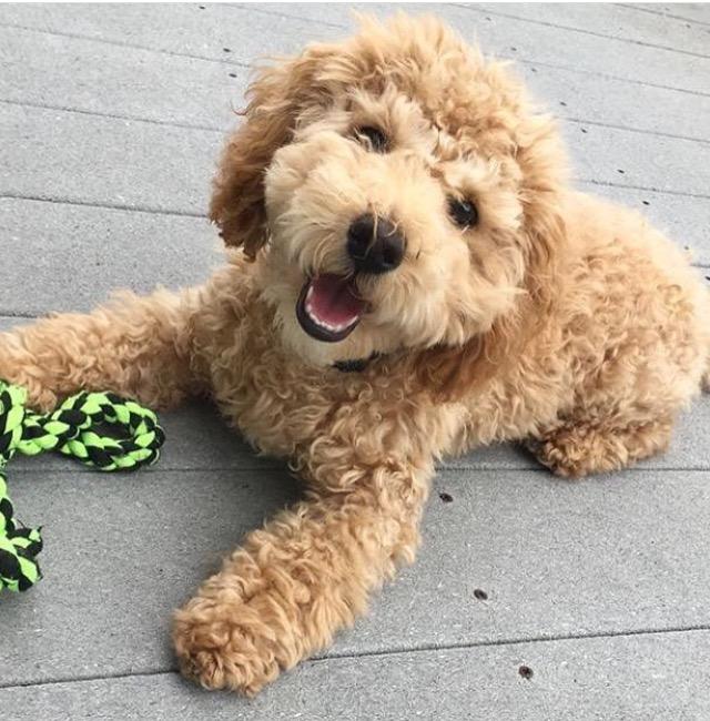 Cooper-mini-Goldendoodle.PNG