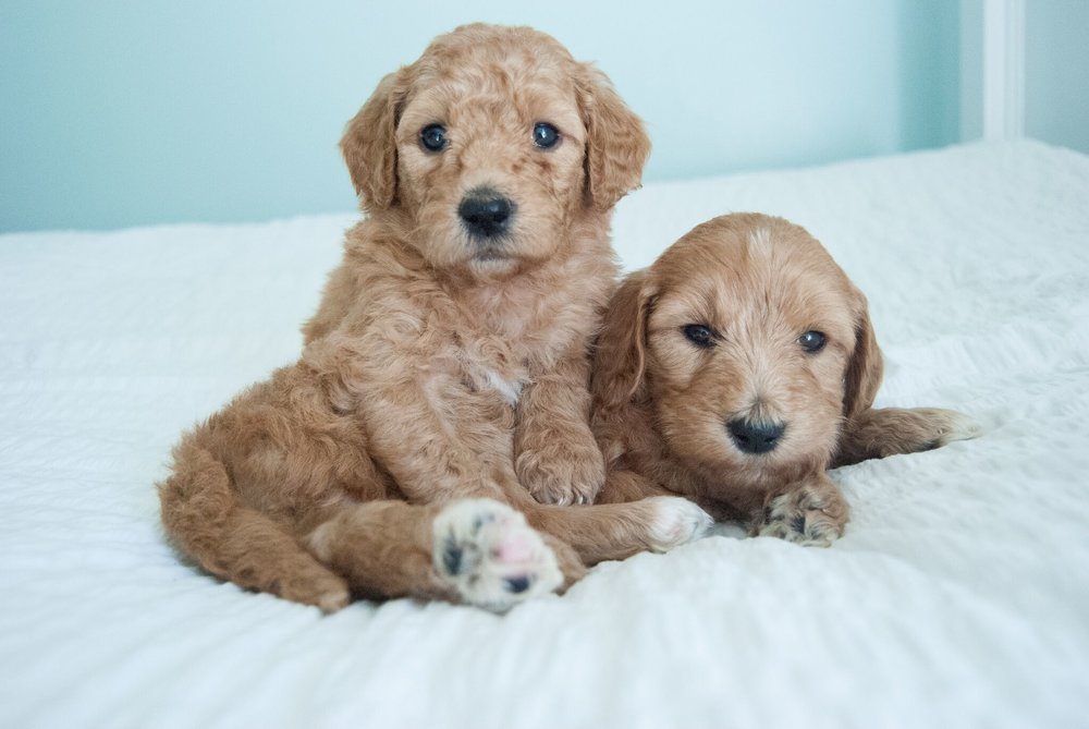 Cute mini golden doodle puppies