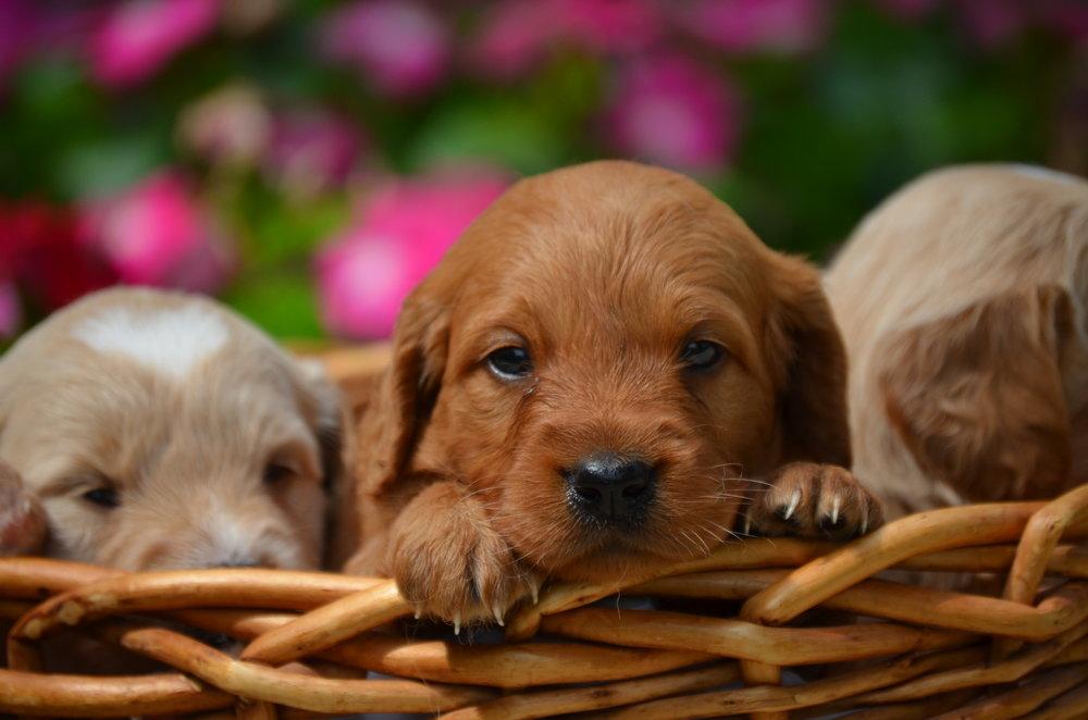 mini-Goldendoodle-puppies