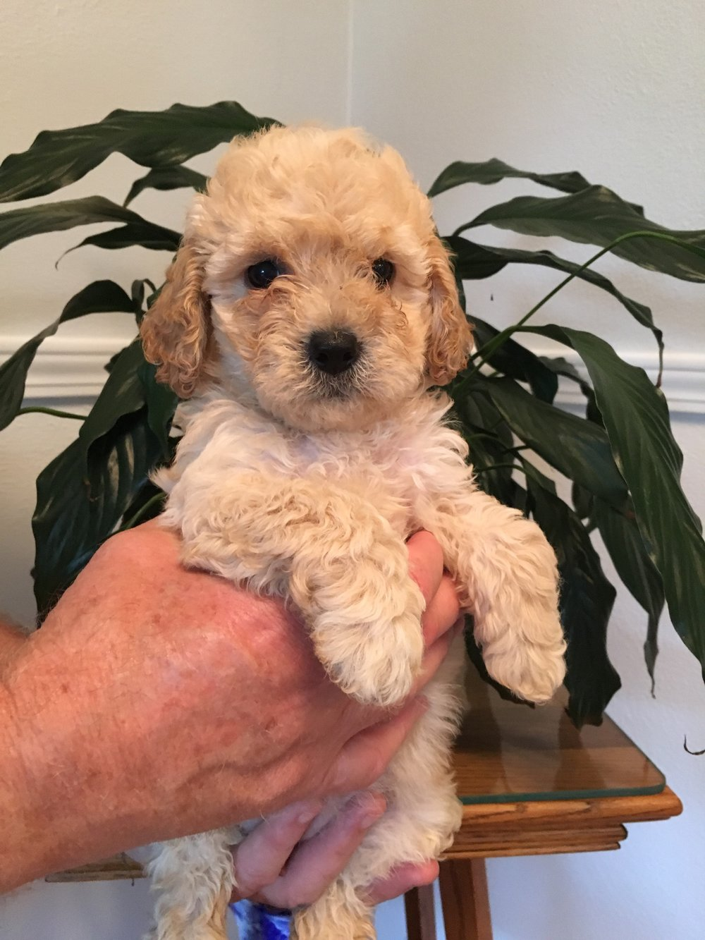 Elsa-cream-petite-Goldendoodle-girl.JPG