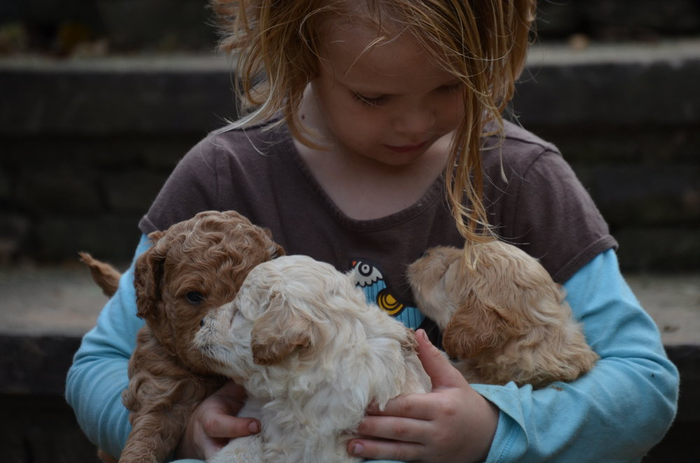 petite-mini-Goldendoodles (3).JPG