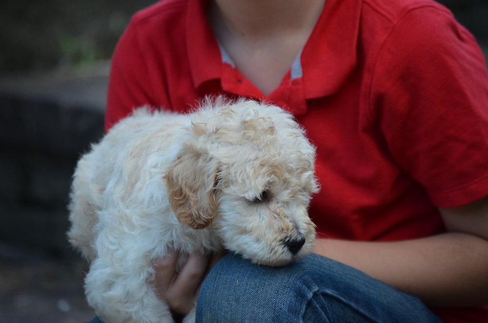 petite-Goldendoodle-girl-Snowball (6).JPG