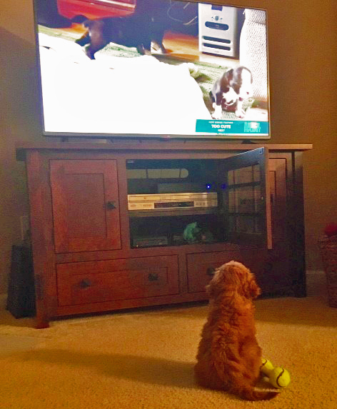mini-goldendoodle-puppy-watches-animal-planet.jpg