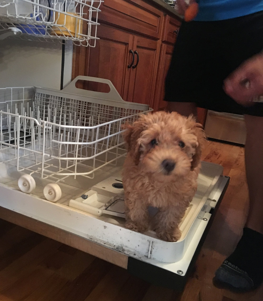 toy-goldendoodle-review.jpg