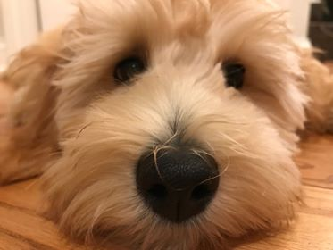 mini-Goldendoodle-face.jpg