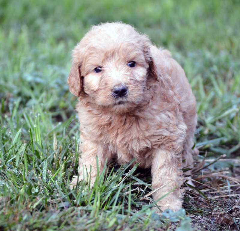 curly-mini-Goldendoodle.jpg