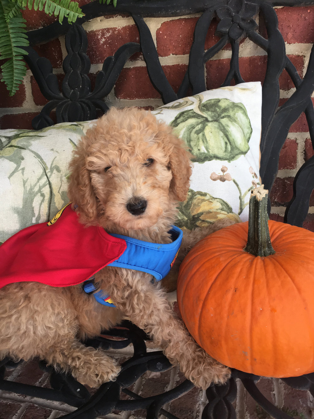 superman-mini-Goldendoodle.jpg