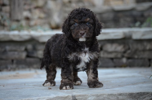 Reggie-phantom-Cockapoo+(1).jpg