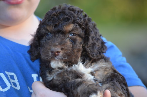 Reggie-phantom-Cockapoo+(2).jpg