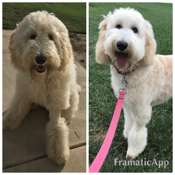Goldendoodle-haircut.jpg