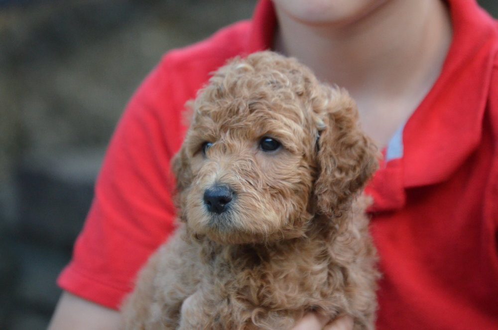 Petite red golden doodle puppy