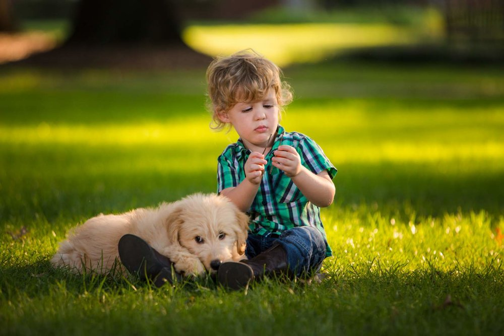 Cream goldendoodle puppy with boy