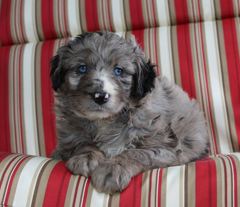 merle aussie doodle puppy with blue eyes