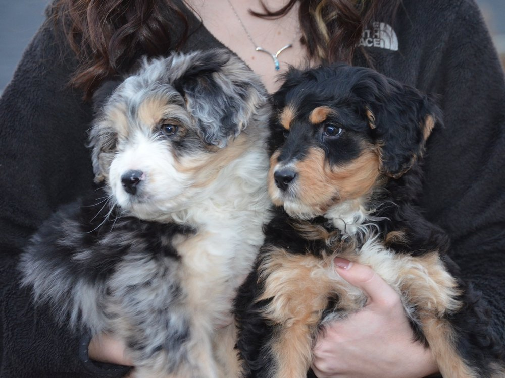 multi-colored aussiedoodle puppies
