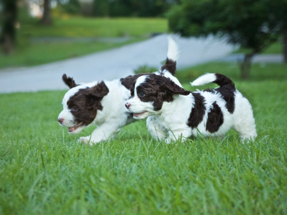 Brown and white springerdoodle puppies playing on grass
