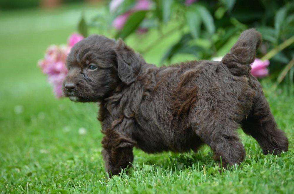 labradoodle labrador retriever and poodle mix - 1000×662
