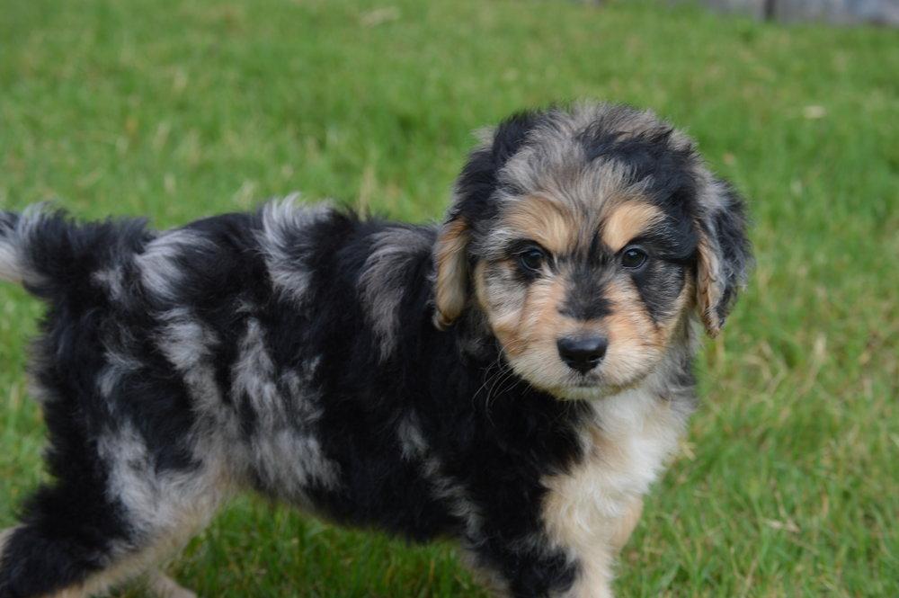 Aussiedoodle Puppies Characteristics Pictures Advantages Colors