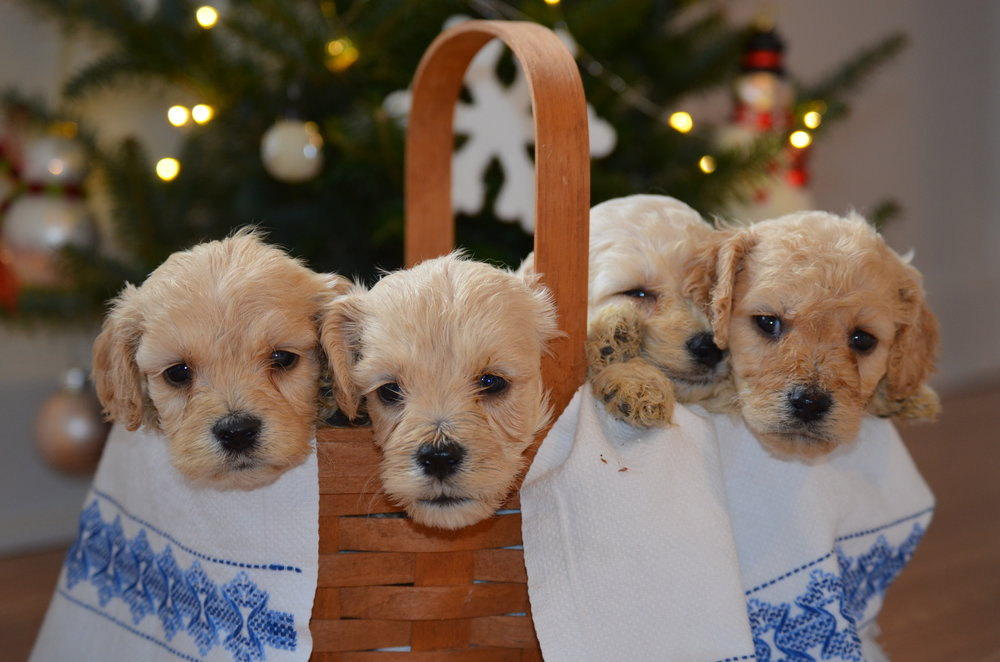 Friendly goldendoodle puppies in a basket