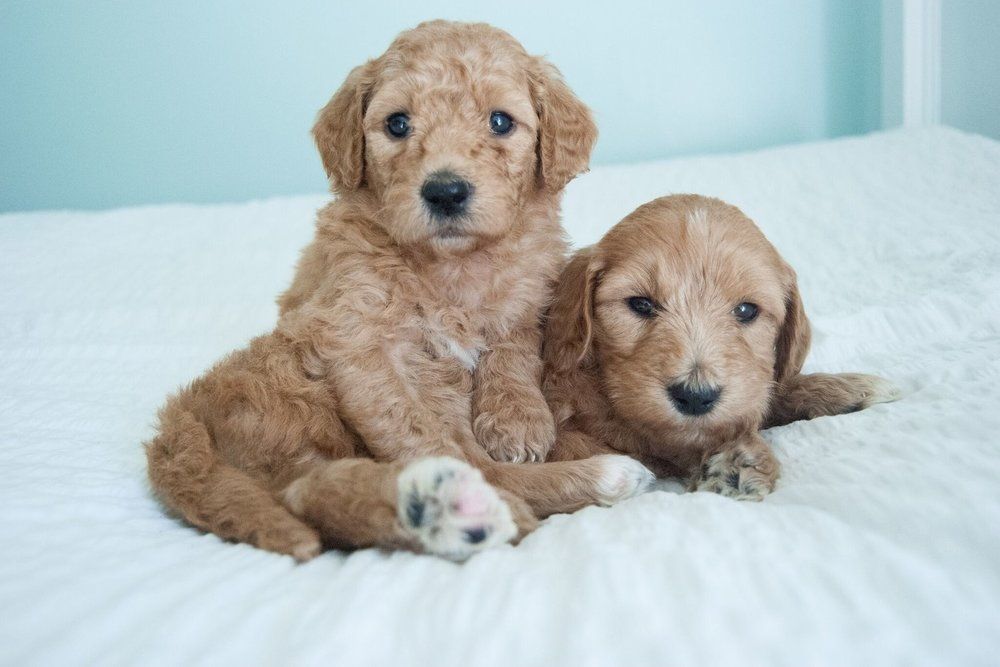 Mini toy goldendoodle puppies