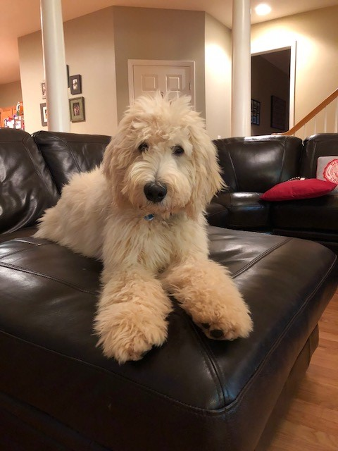 Wallace-Goldendoodle.jpg