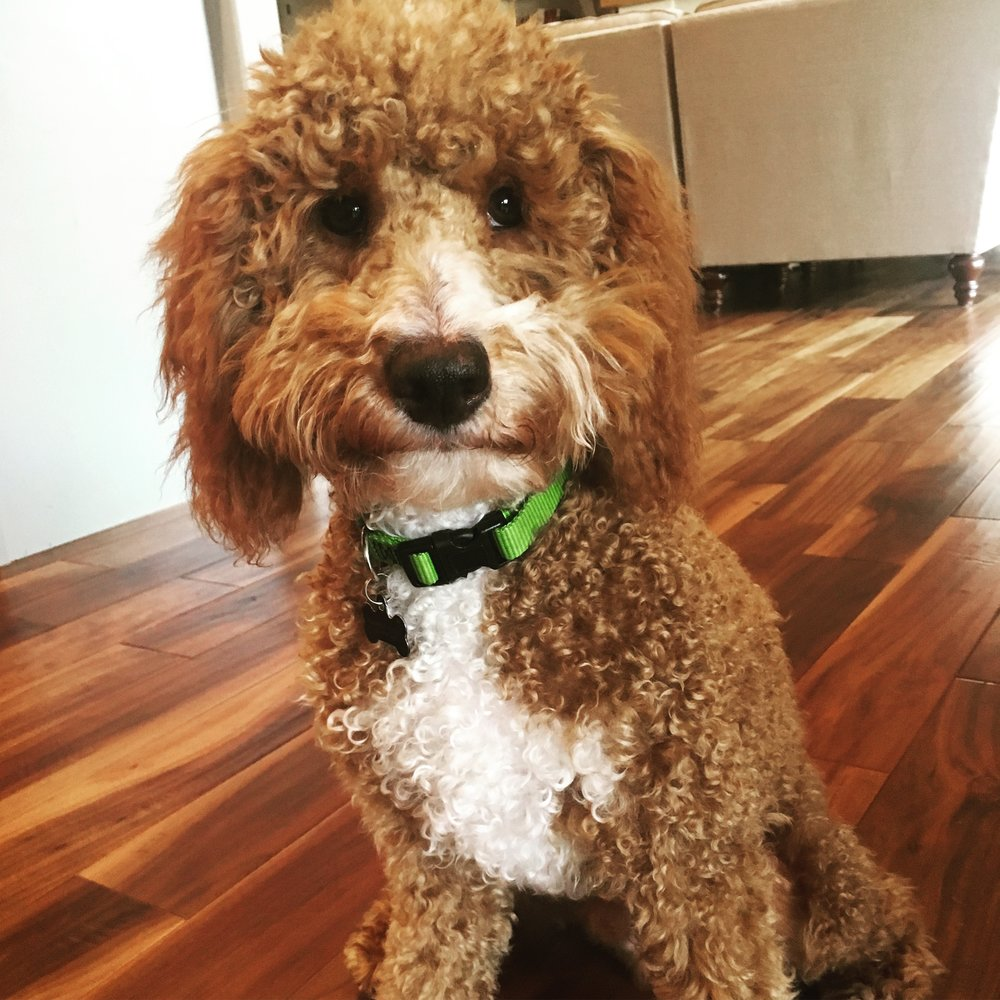 Niko, 23 pound Curly mini Goldendoodle dad