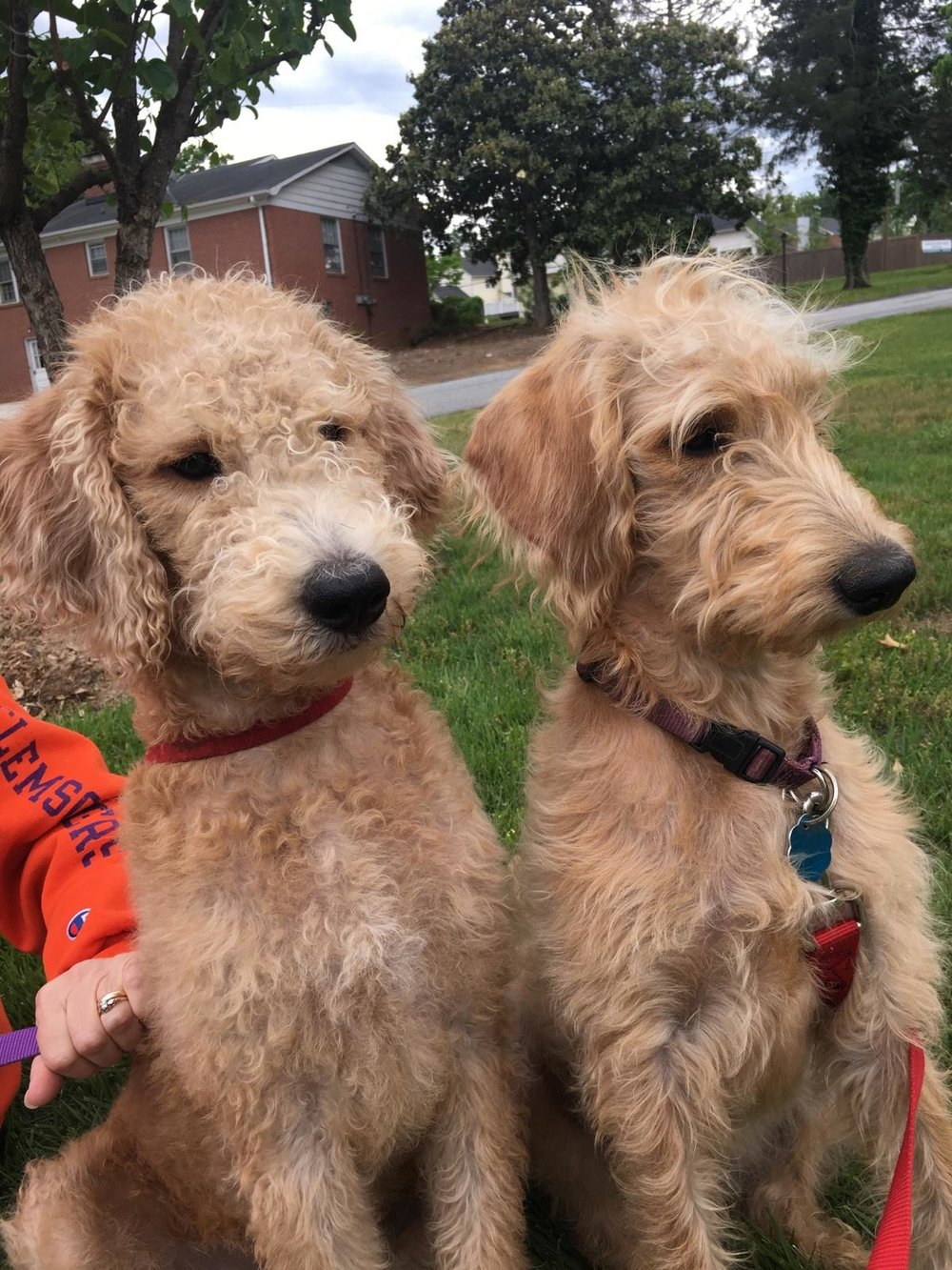 Maisy (Labradoodle mom) is on the right, with her sister, Buffy on the left