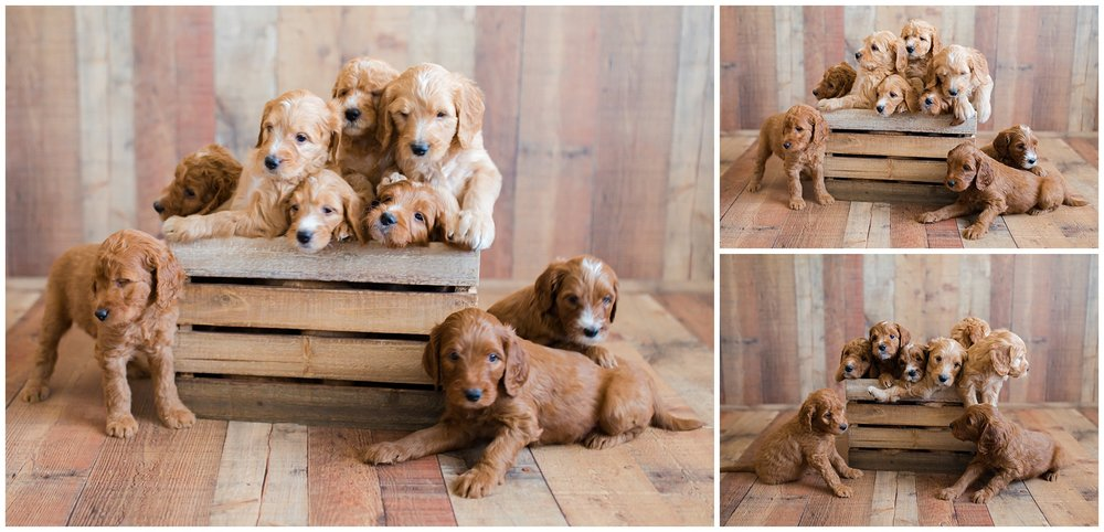 red-mini-goldendoodles