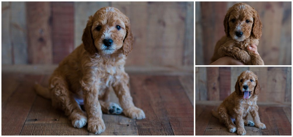 red-mini-Goldendoodle-Angel