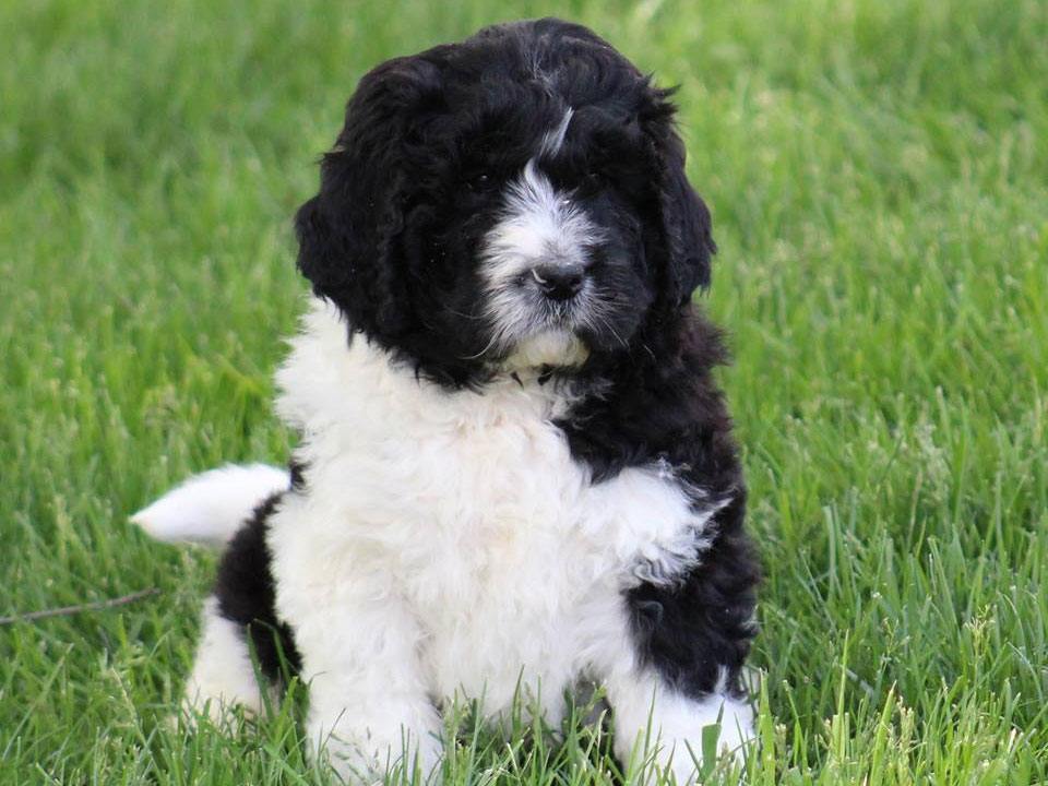 cute black and white newfiedoodle/newfiepoo