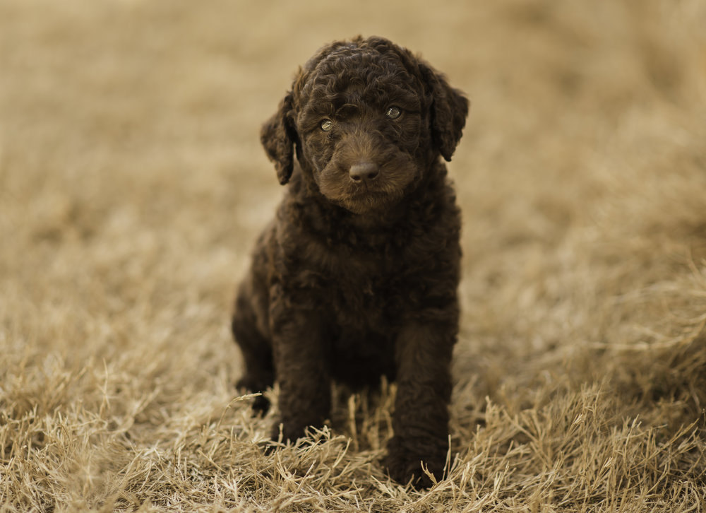 Asher - male Labradoodle.jpg