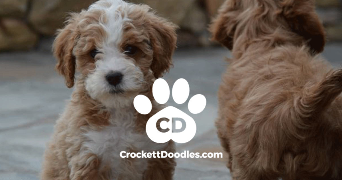 Crockett Doodles Family Raised Doodle Puppies For Sale